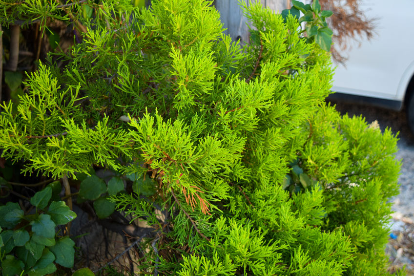 juniper evergreen shrub