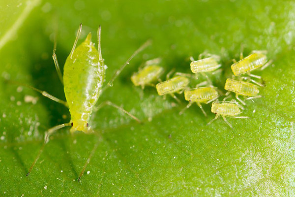 green aphid bugs