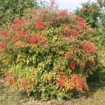 nandina shrub with bright pink flower clusters