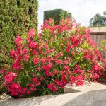 oleander shrub with bright pink flowers