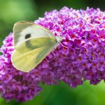 butterfly bush with column of pinkish purple blossoms