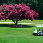 crape myrtle in lawn with hot pink blossoms