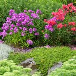 garden phlox perennial shrubs with pink and purple flowers