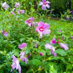 rose of sharon shrub with pink flowers