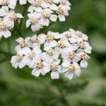 yarrow perennial tiny white flower clusters