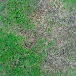 brown patch fungal lawn disease green lawn with dead patches