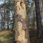 hypoxylon canker tree disease diseased tree trunk with patches of missing bark
